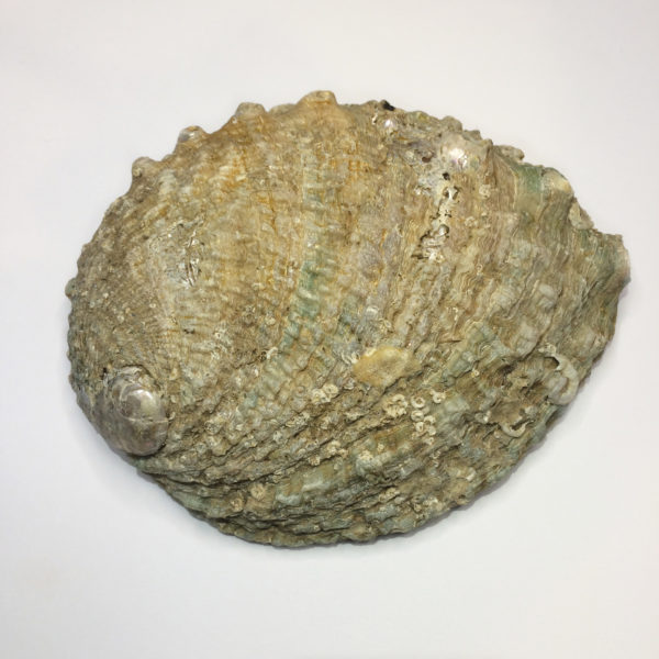 The back of a natural abalone shell