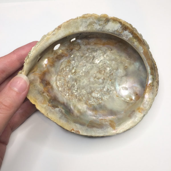 The front of a natural abalone shell