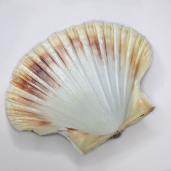 A large white and brown Scallop Shell