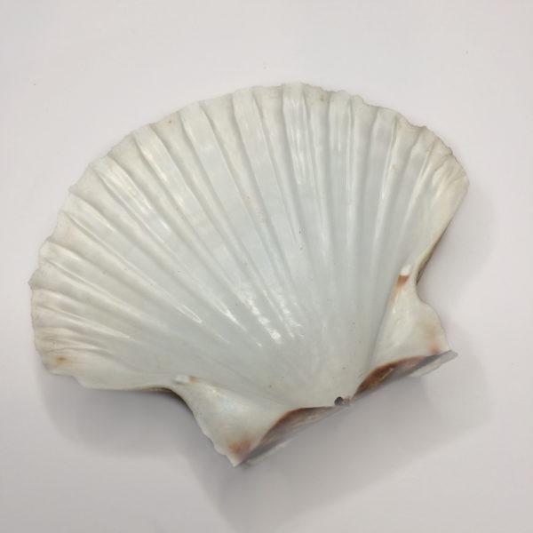 A large white Scallop Shell